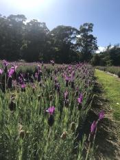 Port Arthur Lavender Farm